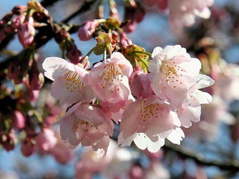 寒桜[2].jpg
